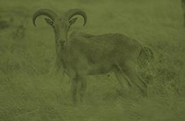 animals_aoudad_green