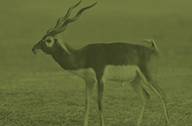 animals_blackbuck_green