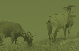 animals_corsicansheep_green