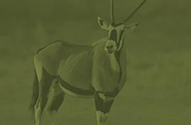 animals_gemsbock_green