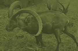 animals_hybridibex_green