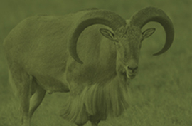 animals_redsheep_green